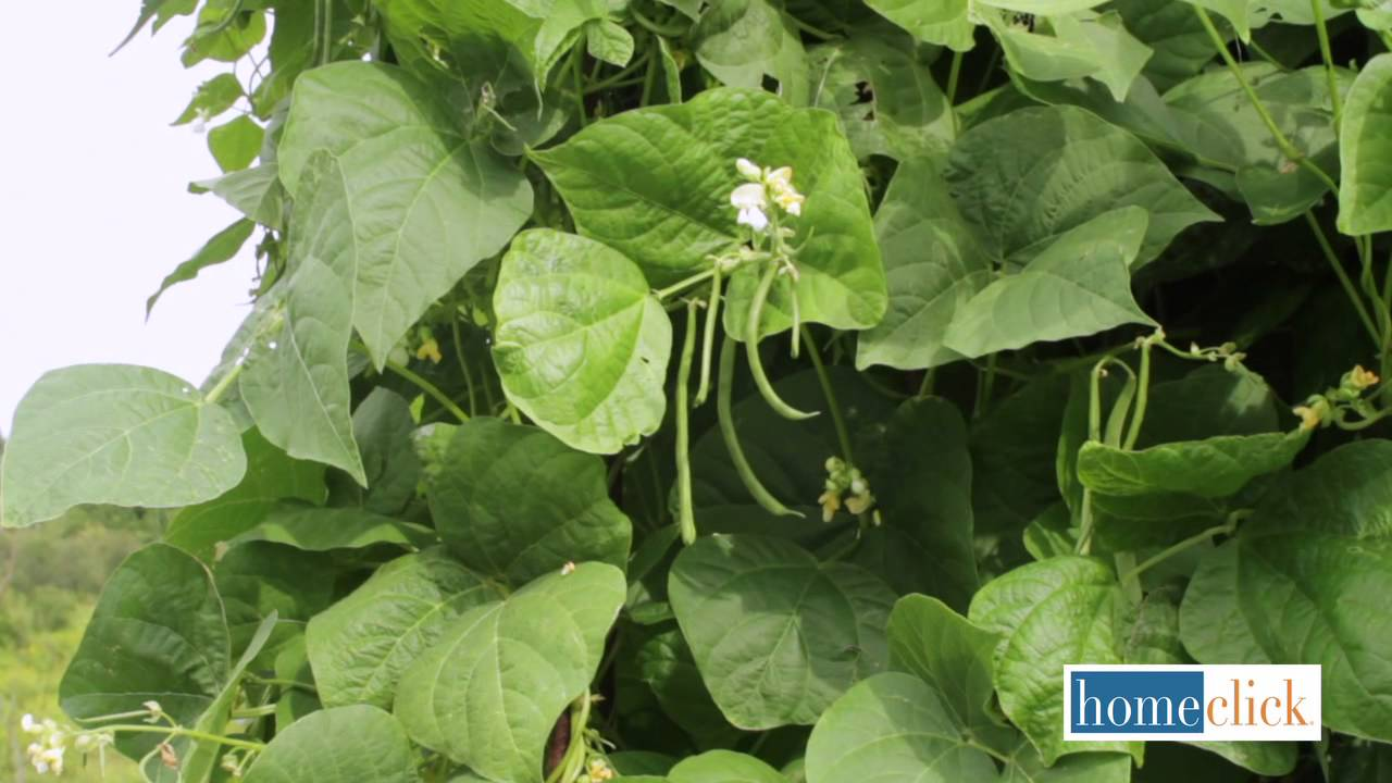 Growing Beans: Pole or Bush Beans