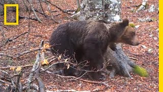 """A camera set up in National Park of Abruzzo, Lazio and Molise, Italy, filmed a tree for 365 days. A myriad of animals visited the spot including bears, deer, wild boar, wolves, and badgers.➡ Subscribe: http://bit.ly/NatGeoSubscribeAbout National Geographic:National Geographic is the world's premium destination for science, exploration, and adventure. Through their world-class scientists, photographers, journalists, and filmmakers, Nat Geo gets you closer to the stories that matter and past the edge of what's possible.Get More National Geographic:Official Site: http://bit.ly/NatGeoOfficialSiteFacebook: http://bit.ly/FBNatGeoTwitter: http://bit.ly/NatGeoTwitterInstagram: http://bit.ly/NatGeoInstaClick here to read """"This Year-Long Video of a Tree Is Surprisingly Action-Packed.""""http://news.nationalgeographic.com/2017/07/tree-video-yearlong-abruzzo-lazio-italy-marsican-bears-spd/A Camera Filmed a Tree for a Year—Here's What It Saw  National Geographic https://youtu.be/5prqYomNJScNational Geographichttps://www.youtube.com/natgeo"""