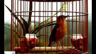 Suara Burung anis merah juara nasional