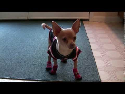 The Dancing Dog:  Tommy Chihuahua