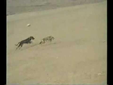 chasse au loup (видео)