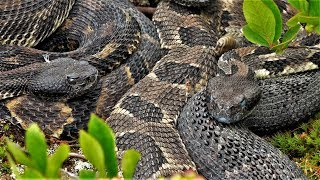 Video Rattlesnake and Copperhead Hunting In Pennsylvania 2019 - Seth Tags Out on a Copperhead! MP3, 3GP, MP4, WEBM, AVI, FLV Agustus 2019