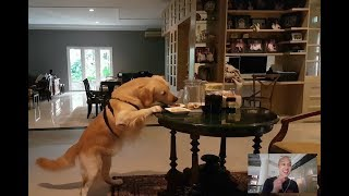 Download Video DOG STEALS FOOD WHEN LEFT HOME ALONE! | SNOWEE THE GOLDEN MP3 3GP MP4