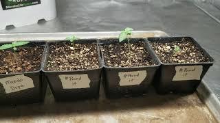 Marijuana Seedlings by Medically Fit