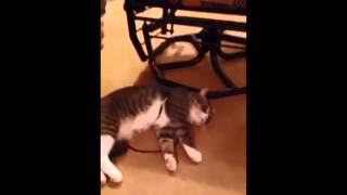 Cat plays dead to avoid going for a walk