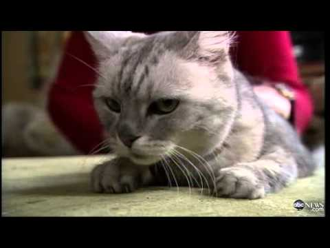loudest - Loudest Cat in the World? One cat has captured the world's attention with his extremely noisy purr. Full video here: http://adf.ly/w6YL Please like Video Civ...