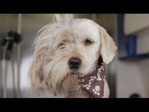 [動画 犬] 保護犬がトリミングして無事引き取られる