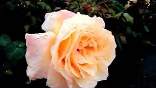 Video Taman Mawar di Lottum Belanda MP3, 3GP, MP4, WEBM, AVI, FLV Juli 2018
