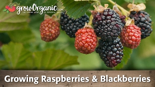Growing Raspberries & Blackberries