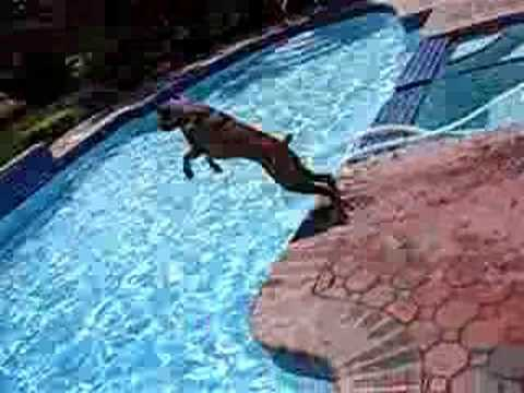 boxer amazing jumping!