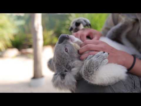 The Cuddliest Koala