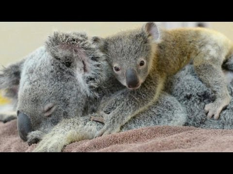 Baby koala holds mother throughout operation