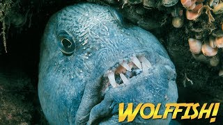 They have big, sharp teeth, long eel-like bodies, and they look like they could bite your fingers right off—but Jonathan can pet them.  They're Wolffish, and Jonathan visits both Atlantic and Pacific species.  You won't believe the amazing encounters he has with these friendly but mean-looking fish.