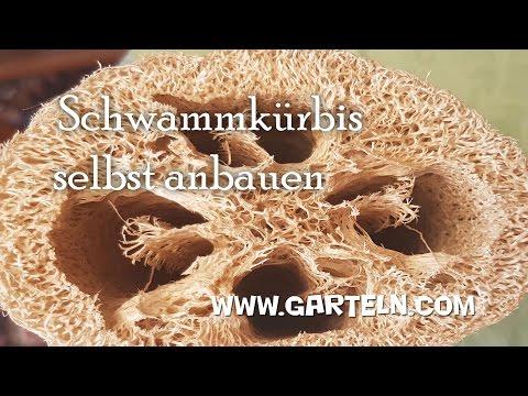 Schwammkürbis selbst anbauen (Luffa cylindrica)