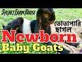 Download Lagu তোতাপারি ছাগলের বাচ্চা | Totapari baby goats Mp3 Free