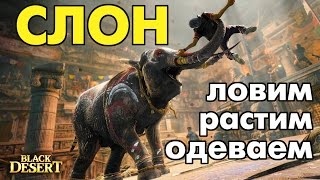 Black Desert (RU) - Ловим слоненка, выращиваем и готовим к осаде!