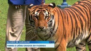 Fazenda em Álvaro de Carvalho cria tigres e leões
