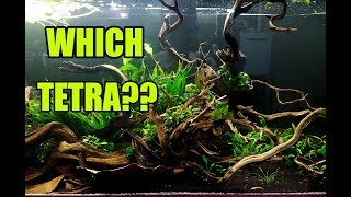 Vote on which Tetra for the 75g Nano community! by Rachel O'Leary