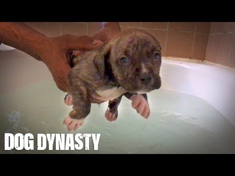 Doggy Paddle: Hulk's Adorable Pit Bull Puppies Learn To Swim | DOG DYNASTY