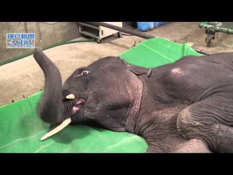 寝たきりの子ゾウにリハビリ
