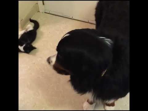 Кот постоянно атакующий добродушную собаку.