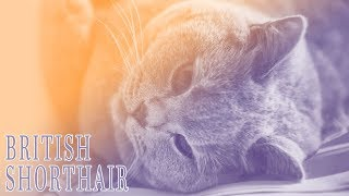 Ideal Companion: British Shorthair