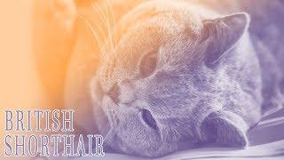 Ideal Companion: British Shorthair