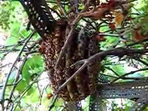 Feral Honey Bee Colony