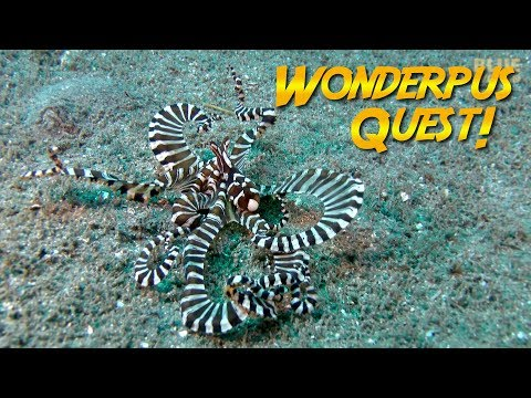 Wunderpus Octopus Quest! | JONATHAN BIRD'S BLUE WORLD