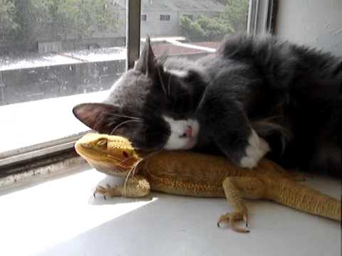 Puppet and Puff! (Cat loves Bearded Dragon)
