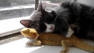 Cat Loves Bearded Dragon