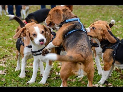 30 beagles having a party!