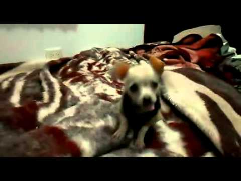 FUNNY CRAZY CHIHUAHUA PUPPY ON BED JUMPING, PERRITO LOCO
