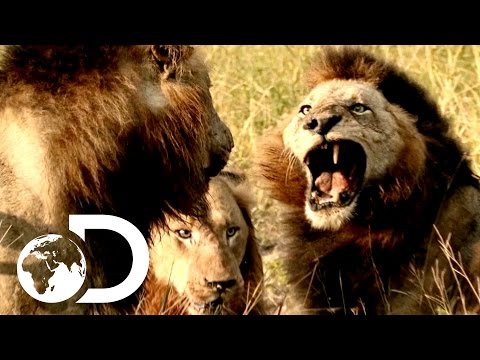 Most Savage Pack Of Lion Brothers | The Lions Of Sabi Sands (видео)