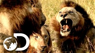 Video Most Savage Pack Of Lion Brothers | The Lions Of Sabi Sands MP3, 3GP, MP4, WEBM, AVI, FLV Oktober 2018