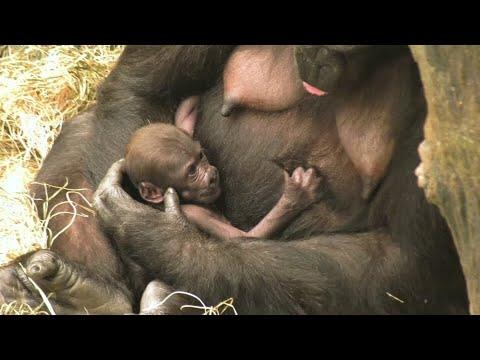 Brookfield/USA: Gorillababy Ali begeistert die Zoobesucher