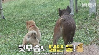 Video A wild boar which is in love with a dog MP3, 3GP, MP4, WEBM, AVI, FLV Juli 2018