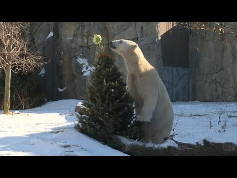 Brookfield (USA): Bescherung im Zoo - ausrangierte Weihnachtsbäume für Bären und Bisons