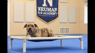 Ruggles (Mountain Cur) graduated from the dog training boot camp at Neuman K-9 Academy. This program included obedience commands to sit, stay, heel or walk on a loose leash, come when called, proper etiquette, no jumping up, meeting and greeting people under control, and running on a treadmill.Our dog training camp provides programs for the Mountain Cur such as boot camp, obedience training, and puppy camp.Neuman K-9 Academy is a professional canine training school that provides board and train (inboard) for dogs, and fully trained dogs for sale.For more information visit: www.mndogtraining.comLocated in Hugo Minnesota just north of Minneapolis and St. Paul (MN).