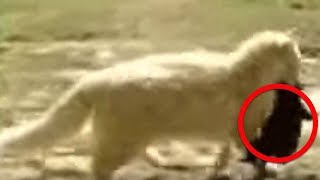 Video This Cat Kept Kidnapping The Neighbor's Puppies  Then They Discovered The Jaw Dropping Reason Why MP3, 3GP, MP4, WEBM, AVI, FLV Agustus 2018