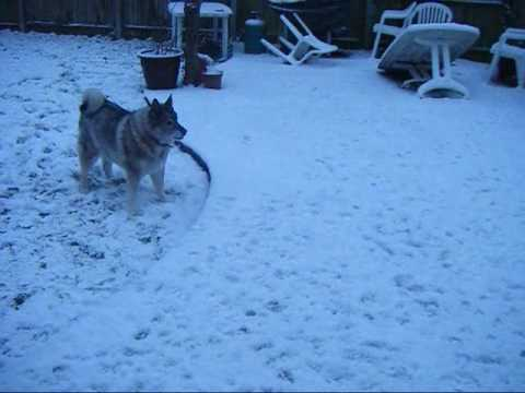 Elkhound Pugg Rugg Chester