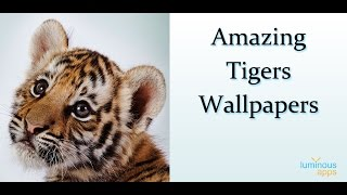 Amazing Tigers Wallpapers YouTube video