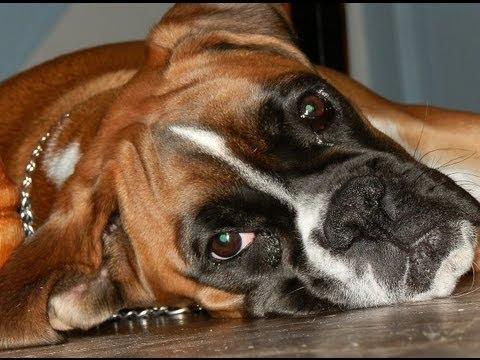 AMAZING DOG TRICKS (BOXER)