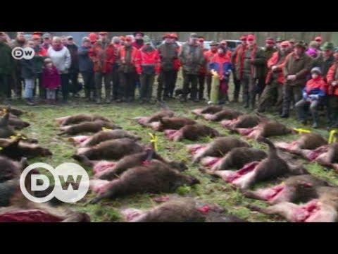 Schweinepest: Alarm bei deutschen Schweinezüchtern | DW ...