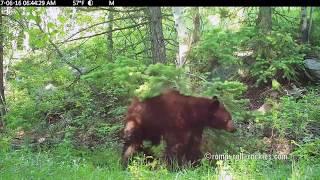 Video Tiny the Black Bear Survives Impalement (May-June, 2017) MP3, 3GP, MP4, WEBM, AVI, FLV Juli 2017