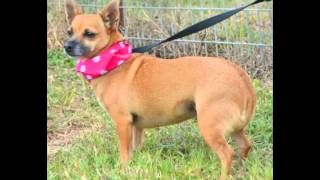 LUCIA**VIDEO** - Chihuahua / Dachshund / Mixed Dog For Adoption