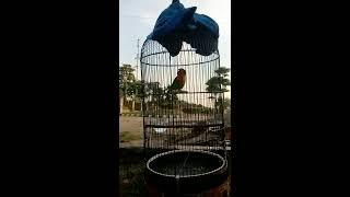 lovebird violla palembang 2
