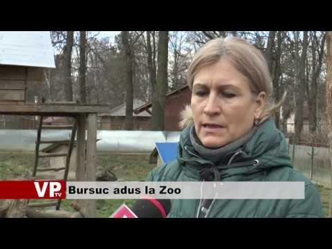 Bursuc adus la Zoo