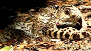 Margay Cat - Exotic Endangered Cat