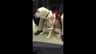 絶対に許せない! とつぜん刺された盲導犬。それでも彼は吠えなかった。